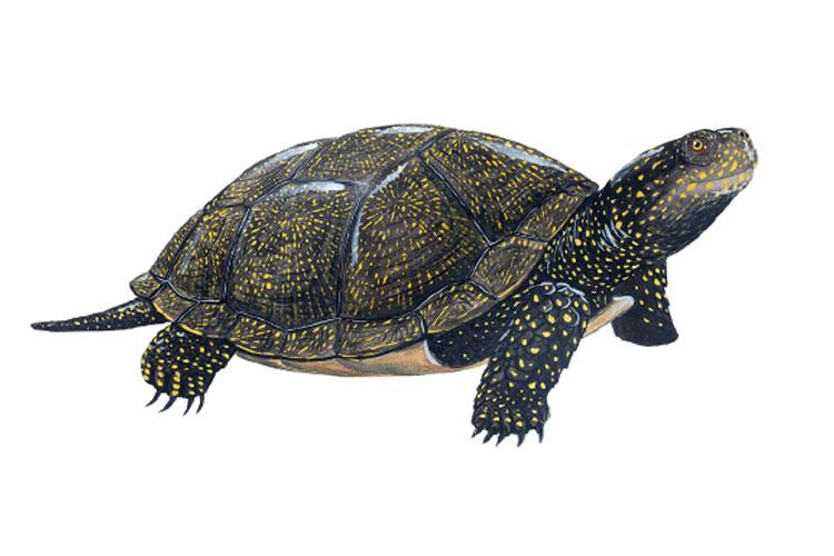 Conèixer per conservar - Seguint les passes de la tortuga d'estany
