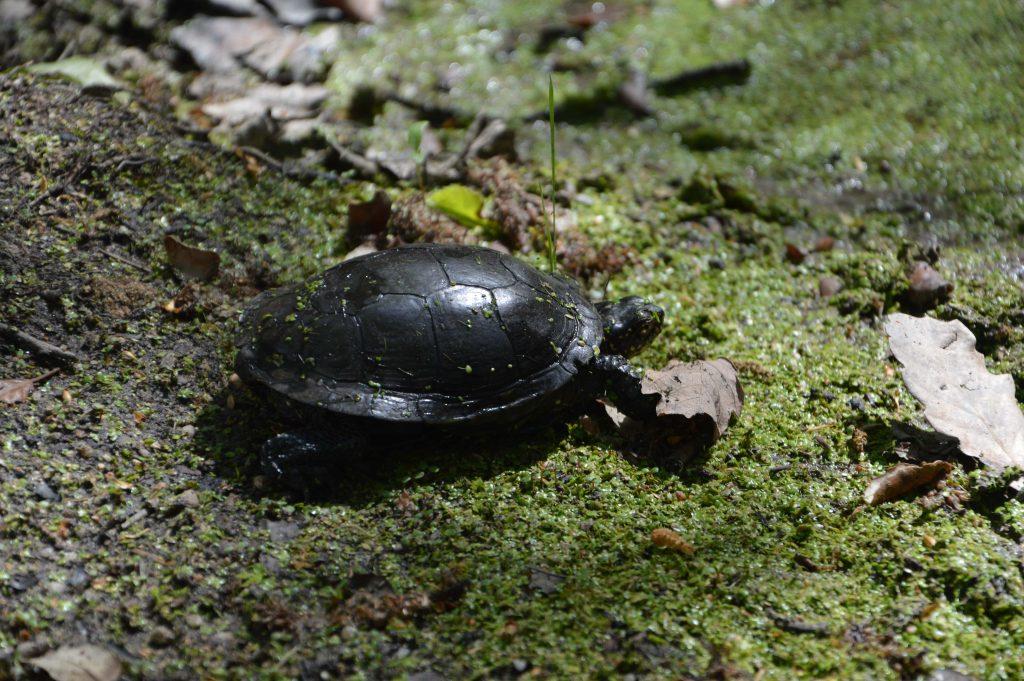 Jornada de voluntariat - Alliberament d'exemplars de tortuga d'estany i construcció de refugis per l'herpetofauna